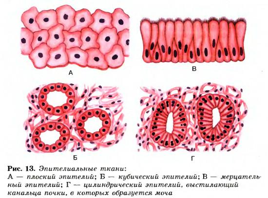 Типы эпителиальных тканей